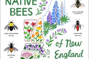 Native Bees of New England